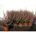 calluna wulgaris ALEXANDRA garden girls